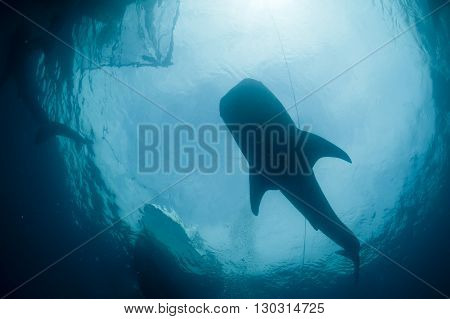 Isolated Whale Shark Portrait Underwater In Papua
