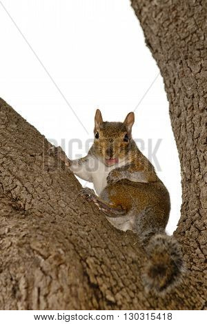 A Squirrel Looking At You While Sitting On A Tree Whit Open Mouth And Pink Tongue