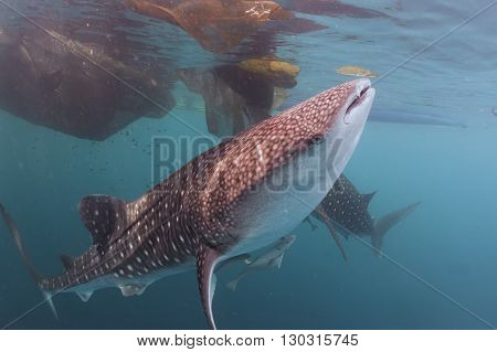 Whale Shark Close Up Underwater Portrait