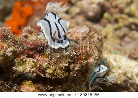 Chromodoris Wilani Nudibranch