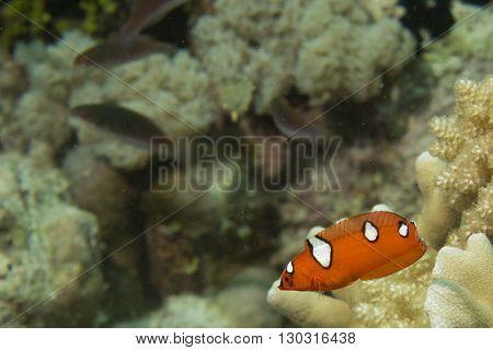 Coris Rainbow Wrasses Fish Portrait