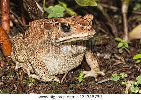 Indonesia Frog