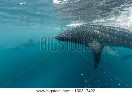 Whale Shark portrait underwater in Papua indonesia