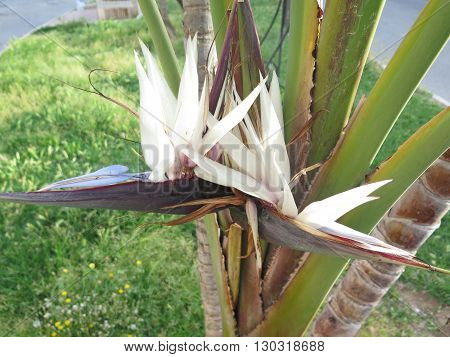 two Strelizia nicolaei or wild banana flower