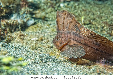 Brown Leaf Fish In Siladen