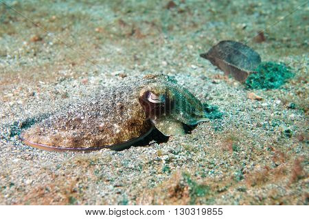 Squid Cuttlefish On Black Lava Sand