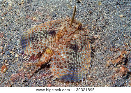 Dactylopterus Volitans Flying Fish Portrait