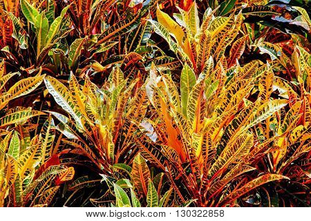 The colorful variegated foliage of tropical crotons.