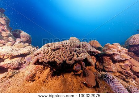 A Hard Coral On A Ship Wreck In Red Sea