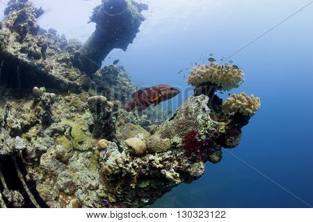 A Grouper Swimming Near Ship Wreck In Red Sea