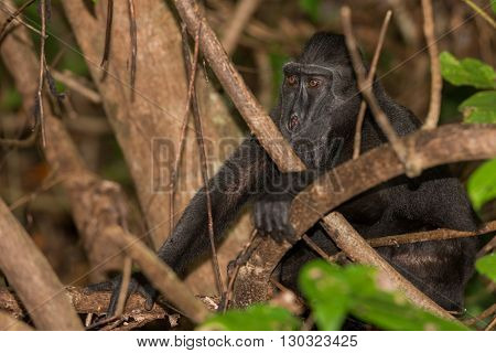 Crested Black Macaque Monkey While Looking At You In The Forest