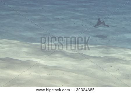 Eagle Ray Manta While Diving In Maldives