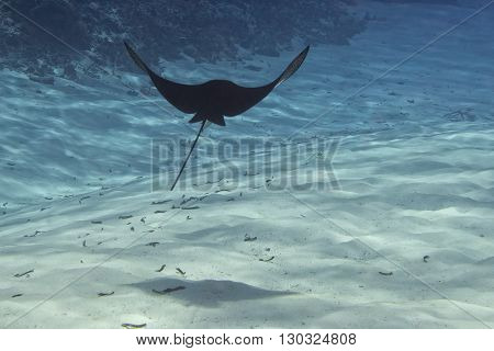 Underwater Portrait Of Eagle Ray Manta In Maldives