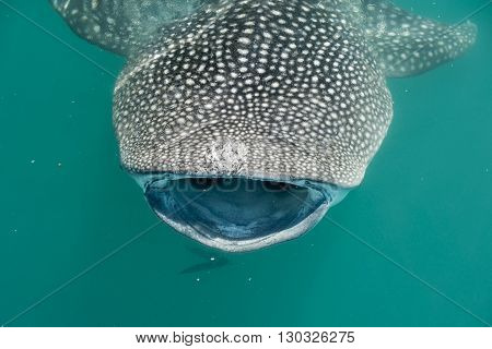 Whale Shark While Eating