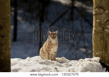 An Isolated Lynx In The Snow Background While Looking At You In The Beautiful Light