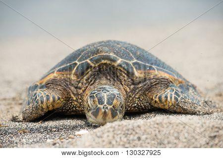 Green Turtle On The Beach In Hawaii
