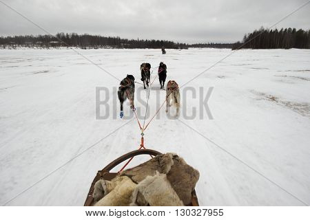 Sledding With Husky Dogs In Lapland
