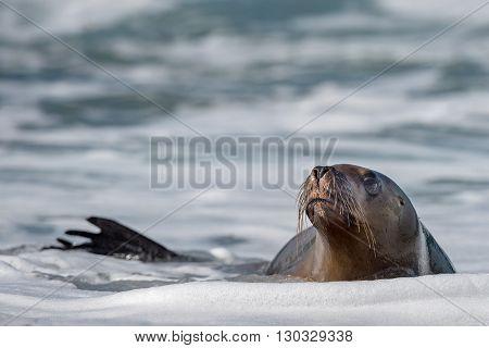 Sea Lion On Foam And Sea Wave