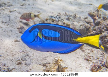A Surgeon Fish Dori Of Finding Nemo