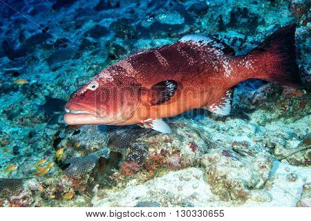 Colorful Grouper Isolated On Ocean