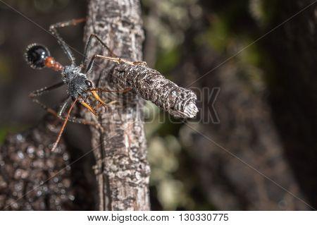 Giant Australia Bulldog Human Killer Ant