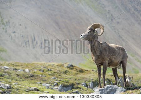 Big Horn Portrait