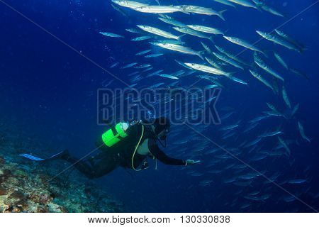 Barracuda School Of Fish Underwater