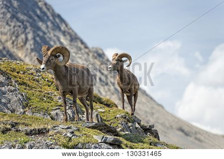 Big Horn Sheep Portrait While Walking On The Mountain Edge