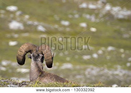 Big Horn Portrait
