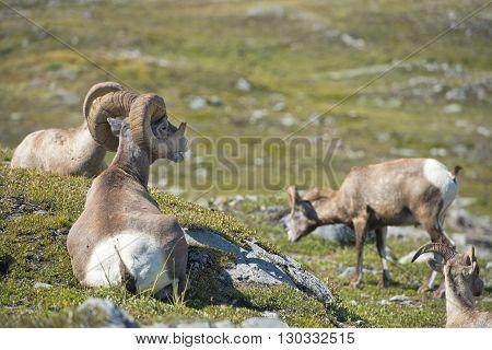 Big Horn Sheep Portrait