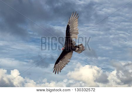 Buzzard Vulture Flying In The Deep Blue Sky