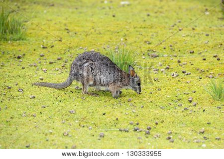 wallaby portrait while looking at you on grass