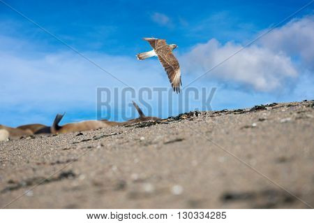 Peregrine Falcon Flying On Th Sky