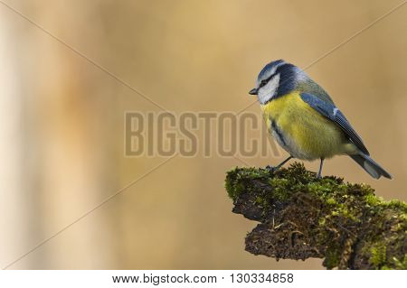 Great Blue Tit On The Brown Background