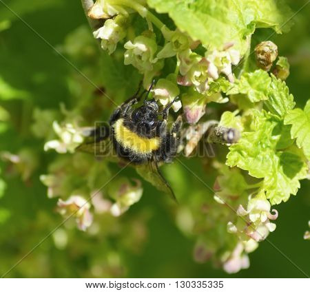 the bumblebee on the summer blackcurrant flowers
