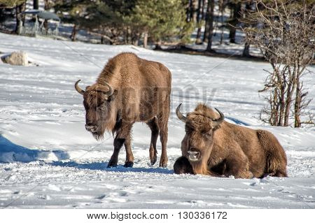 European Bison Family On Snow