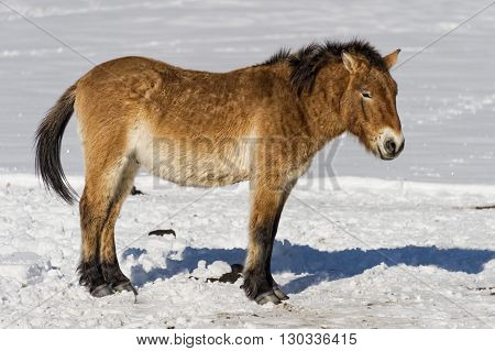 Mongol Wild Horse On Snow Background
