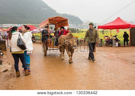 Luoping, China - February 26, 2016: Man riding a water buffalo for the tourists among the rapeseed flowers fields of Luoping in Yunnan China