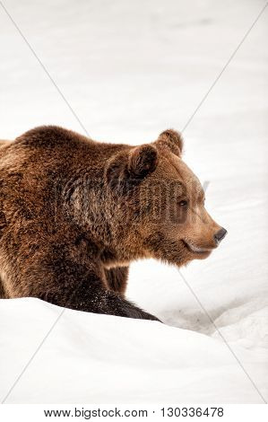 Isolated Bear Walking On The Snow