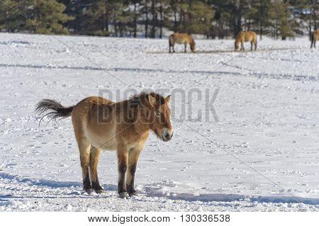 Mongol Horse On Snow