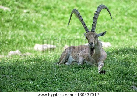 Deer Ibex Long Horn Sheep Steinbock