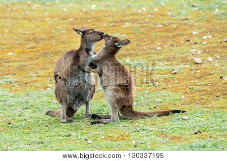 Kangaroos Mother And Son Portrait