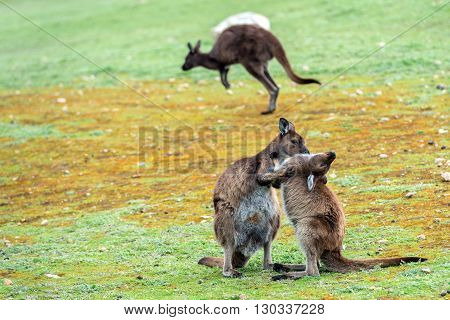 Kangaroos Family Father Mother And Son Portrait