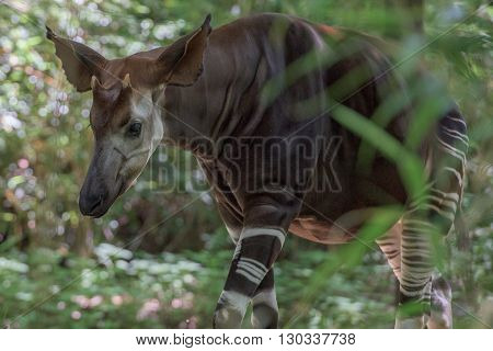 Okapi Rare African Antilope And Zebra Crossing