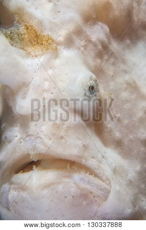 Frog Fish Portrait Detail Of The Mouth End Eye