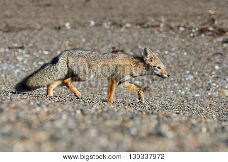 Grey Fox On The Beach While Hunting