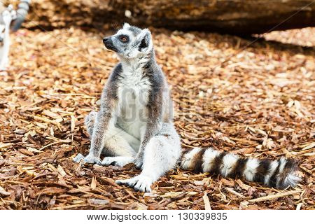 Funny sitting Ring-tailed lemur aka Lemur catta close up with place for text