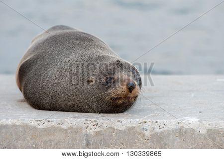 Australia Fur Seal Close Up Portrait