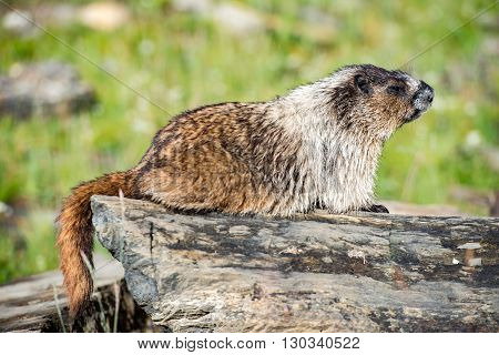 Rocky Mountains Canadian Ground Hog