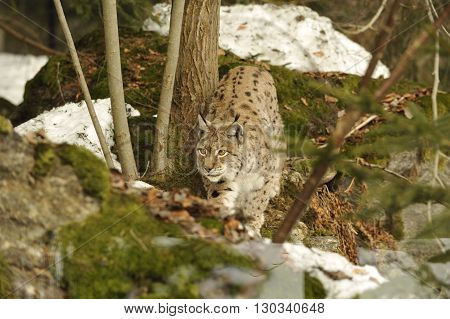 An Isolated Lynx In The Snow Background While Hunting Looking At You